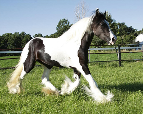 Gypsy Horse Breeding Program – Broodmares, Stallions, Foal